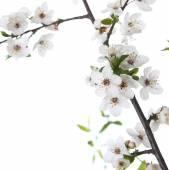 Flowers cherr — Stock Photo