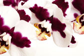 Red and white flower — Stock Photo