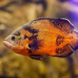 Fish in fresh Aquarium. Oscar fish (Astronotus ocellatus) swimming underwater — Stock Photo #62341987