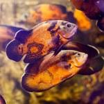 Two Oscar fish (Astronotus ocellatus) swimming underwater — Stock Photo #62341999