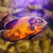 Oscar fish (Astronotus ocellatus) swimming underwater in fresh aquarium — Stock Photo #62342001