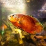 Oscar fish (Astronotus ocellatus) - huge cichlid closeup photo on biotope — Stock Photo #62342111