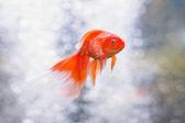 Gold fish swimming underwater. — Стоковое фото