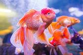 Gold oranda goldfish in an aquarium — Stock Photo