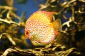 Discus (Symphysodon spp.), freshwater fish native to the Amazon River — Stock Photo
