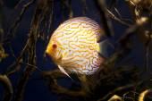 Wild Amazon Discus fish in the wild life — Stock Photo
