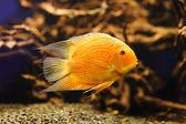 Red albinos Cichlid. Latin name - Cichlasoma severum swimming underwater in fresh aquarium — Stock Photo
