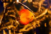 Fire red Discus fish from Amazon River — Stock Photo