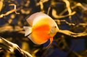 Discus fish in the aquarium — Stock Photo
