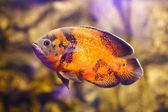 Astronotus ocellatus (Tiger), big fresh-water fish, South American cichlid — Stock Photo