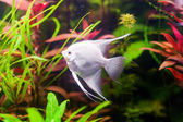 White Scalare (Angelfish) swimming underwater in beautiful fresh aquarium near green plant — Stock Photo