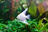 Freshwater aquarium with a pterophyllum scalare fish — Stock Photo