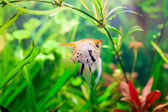 A green beautiful planted tropical freshwater aquarium with fish pterophyllum scalare — Stock Photo
