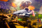 Closeup of a tropical redtail catfish, Phractocephalus hemioliopterus, swimming underwater with huge cichlids — Stock Photo