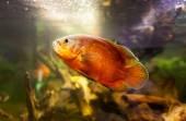 Oscar fish (Astronotus ocellatus) - huge cichlid closeup photo on biotope — Stock Photo