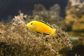 African Malawi Cichlid swimming underwater — Stock Photo