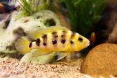 Exclusive cichlid swimming underwater in fresh aquarium — Stock Photo