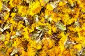 Dried flowers coltsfoot (Tussilago farfara) for medical use. — ストック写真