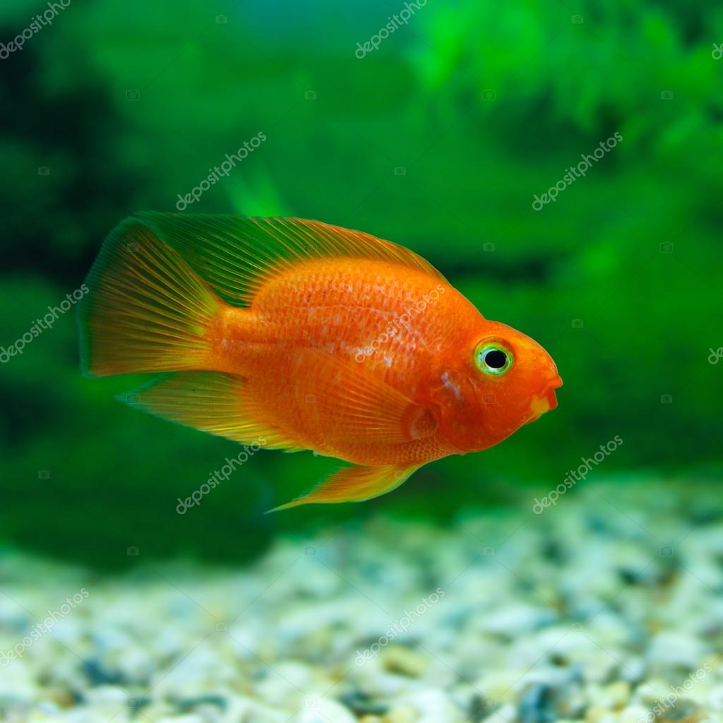 Freshwater fish hobby - Red Blood Parrot Cichlid In Aquarium Plant Green Background Funny Orange Colourful Fish Hobby