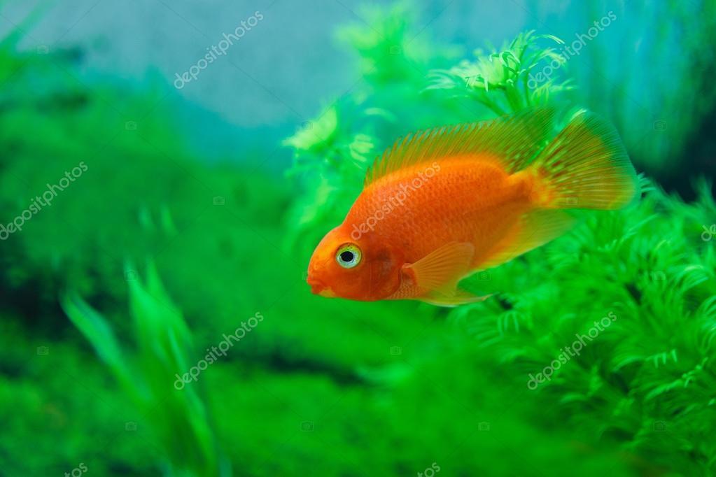 Lionhead goldfish yellow