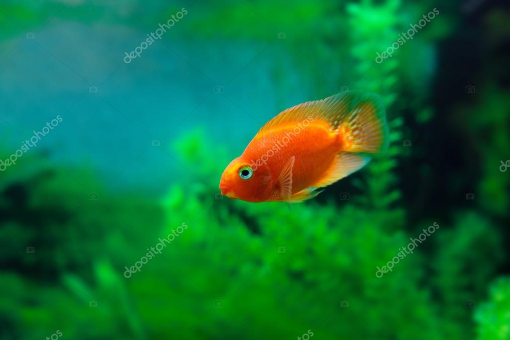 Blood Parrot for Sale  AquariumFishnet