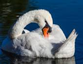 Big white swan swims on the surface of lake — Stock Photo