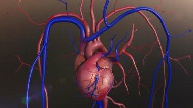 Human heart model — Stock Video