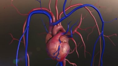 Human heart model — Stock Video