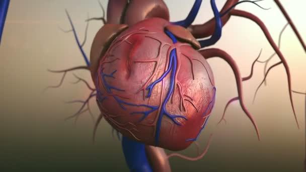 Modelo del corazón humano — Vídeo de stock