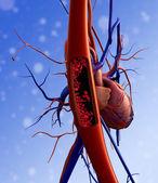 Human Cardiovascular System — Stock Photo