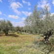 Landscape of southern France: the olive trees in Provence — Stock Photo #71256973