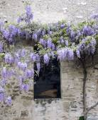 Blooming wisteria on ancient wall — Stock Photo