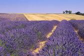Plateau Valensole, Provence: lavender fields — Stock Photo