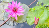 Lotus flower on the pond — Stock Photo