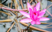 Pink lotus flower on the pond — Stock Photo