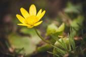 Wild yellow spring flowers primrose  — Stock Photo