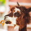 Portrait of Fluffy young Alpaca Vicugna pacos — Stock Photo #65301739