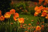 Beautiful orange tulips flower field  — Stock Photo