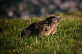 Alpine marmot Marmota marmota looking forward, This animal is found in mountainous areas of central and southern Europe — Stock Photo