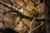 Black capped squirrel monkey in a tree — Stock fotografie