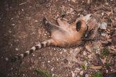 南アメリカのハナグマ Nasua nasua 自体で遊んで — ストック写真