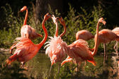 Large flamingo birds fight with their beaks — Stock Photo
