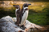 Two Yellow Eyed Penguins standing on rock — Stock Photo
