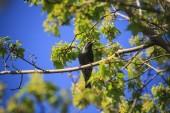 Starling — Stock Photo