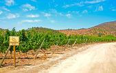 Vineyard  Sauvignon Blanc — Photo