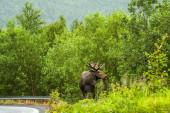 Wild Bull Moose in autumn — Stockfoto