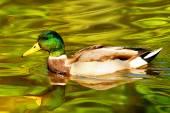 Duck, animal, avian, background, beak, beautiful — Stock Photo