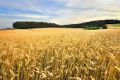 Ripening ears of wheat field — Stock Photo