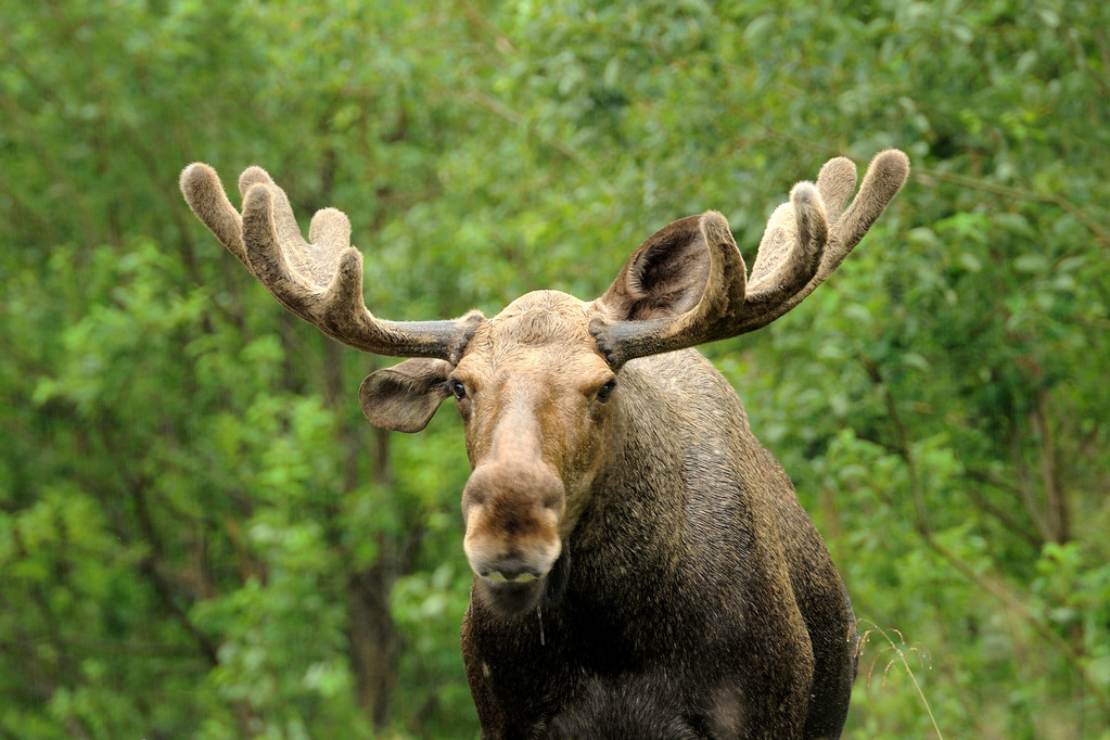 Wild Bull Moose — Stock Photo