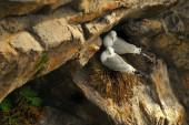 Sea Gull and Nest — Stockfoto
